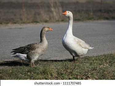 Funny gooses on rural farm meadow