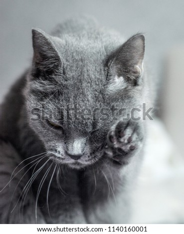 e539ced49221db A funny gray cat of the British breed is washing its paw. Portrait, selective  focus. - Image