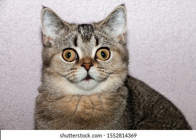Funny gray kitten with big surprised eyes. Close-up.
