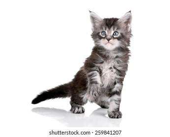 Funny gray kitten Maine Coon