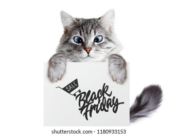 Funny gray tabby kitten showing placard with text. Lovely fluffy cat with blue eyes holding signboard on isolated background. Top of head of cat with paws up peeking over blank banner. Black friday.