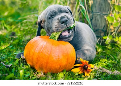 funny Great Dane dog puppy and pumpkin