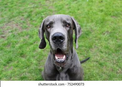 funny great dane is sitting in the garden and looking to the camera