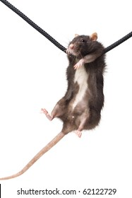 funny grey rat clutching at rope on white background