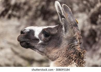 Funny grey and white  Lama glama close up profile portrait