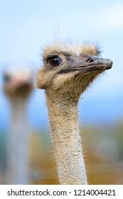 Funny grimace of ostrich, human expression.