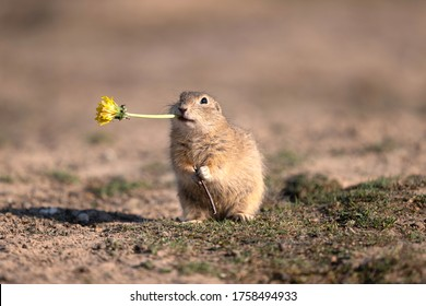 Funny ground squirrel with dandelion