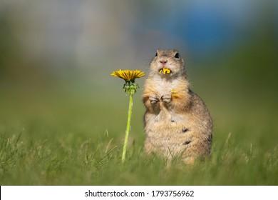 Funny ground squirrel eating dandelion flower