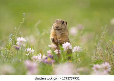 Funny ground squirrel looking it is smiling