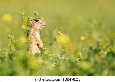 Funny Ground squirrel (Spermophilus pygmaeus) standing in the grass. - Shutterstock ID 1186198213