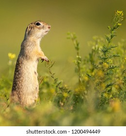 Funny Ground squirrel (Spermophilus pygmaeus) stands in the grass and looks at the camera. Side view. - Shutterstock ID 1200494449