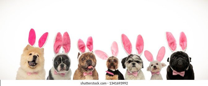 funny group of puppies wearing bunny ears for easter holiday on white background