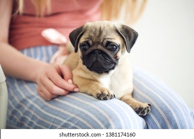 Funny grown-up Pug puppy with ears on his hands, jeans and a gentle background, pet care concept and lifestyle, close-up