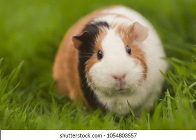 Funny guinea pig eating grass in the garden outdoors