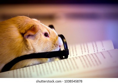 Funny guinea pig with glasses reading a book
