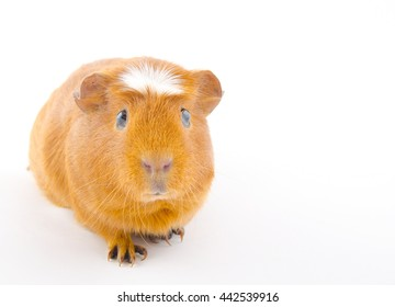 Funny guinea pig isolated on white (with copy space on the right for your text)