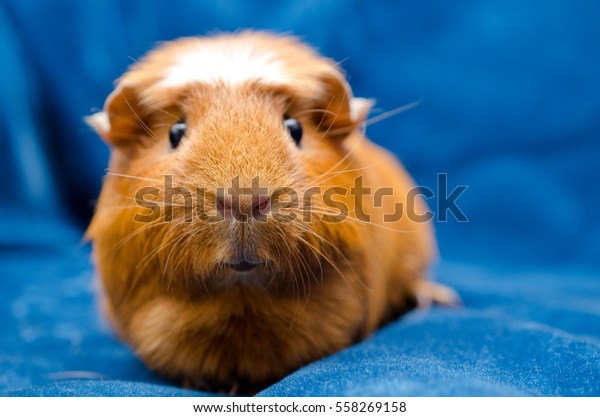 Funny guinea pig (on a blue background)
