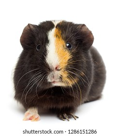 funny guinea pig on a white background