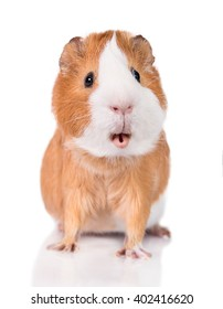 Funny guinea pig with open mouth isolated on white