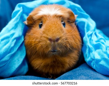 Funny guinea pig wearing a blue scarf on its head (on a blue background), selective focus on the guinea pig nose