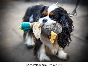 """Funny hairy dog catching a plush toy - duck - in its mouth or muzzle. Warsaw, Poland. A kind of political demonstration -  in Poland the most powerful politician name is Kaczynski - it means """"ducky""""."""