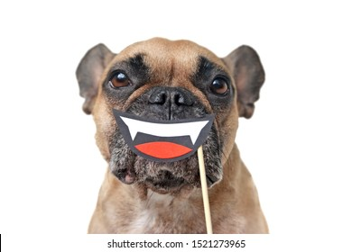 Funny Halloween French Bulldog dog with smiling vampire mouth with fangs paper photo prop held in front of muzzle isolated on white background