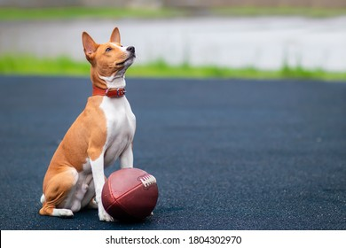Funny happy beautiful dog is playing with American football ball on the sport ground, playground. Basenji pedigree dog, cute playful puppy with a ball for rugby outdoors.