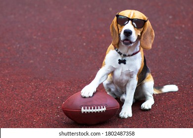 Funny, happy beautiful dog in sunglasses, beagle breed plays with a ball in American football and Rugby on the sports ground, playground.