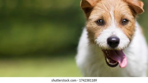 Funny glücklich verrückt lächelnd aufgeregten Jack Russell Terrier Hund Welpen Hop im Sommer. Kopf, Gesicht, Zunge, Webbanner.
