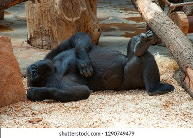 Funny happy lazy black gorilla relaxing in zoo. Lazy monkey gorilla laying & have fun. Monkey gorilla lazy funny put leg on leg happy resting on lunch siesta. Big gorilla monkey happy animal slipping