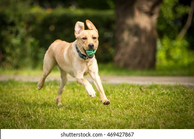 Funny happy Yellow labrador retriever dog running with toy ball in summer park outdoor