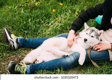 Funny Happy Young Husky Puppy Dog Sits In Girl Embrace In Green Grass In Summer Park Outdoor.