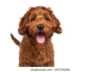 Funny head shot of cute red Cobberdog puppy, standing facing front. Looking curious towards camera. Isolated on white background. Tongue out.