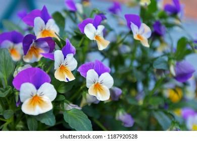 Funny heartsease flowers in summer.  - Shutterstock ID 1187920528