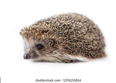 Funny hedgehog isolated on white background