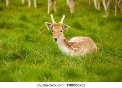 A funny herd of deer in the Phoenix Park in Dublin, Ireland
