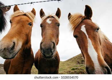Funny horses in windy weather, Iceland
