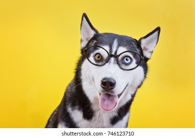 funny husky breed dog with glasses, yellow studio background, concept of dog emotions