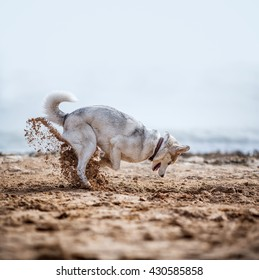 Funny Husky digging sand at the beach
