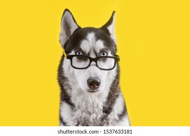 Funny husky dog in glasses on yellow background. Dog is waiting dog treats