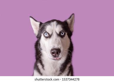 Funny husky dog wait treats on magenta background. Dog is waiting dog treats