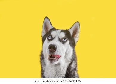 Funny husky dog wait treats on yellow background. Dog is waiting dog treats