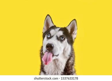 Funny husky dog wait treats and showing tongue on yellow background. Dog is waiting dog treats