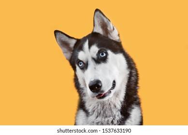 Funny husky dog wait treats on the orange background. Dog is waiting dog treats