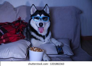 Funny husky dog watching TV on soft sofa at home