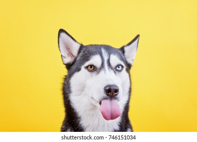 a funny husky shows the language on a yellow studio background, the concept of dog emotions