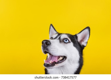 funny hussy breed dog laughing funny, yellow studio background. concept of canine emotions