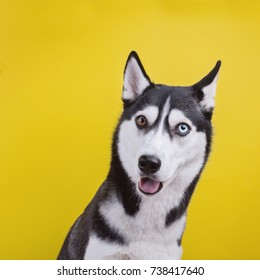 funny hussy breed dog funny surprised, yellow studio background. concept of canine emotions