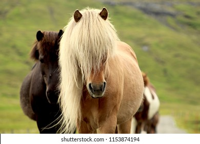Funny icelandic horse with a long flowing and blonde mane, walking in the middle of a strett in the Faroe Islands.