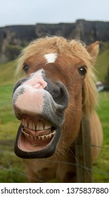 Funny icelandic horse smiling and laughing with large teeth. Selective focus on the teeth and nose.